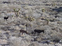 Burros - Red Rock canyon